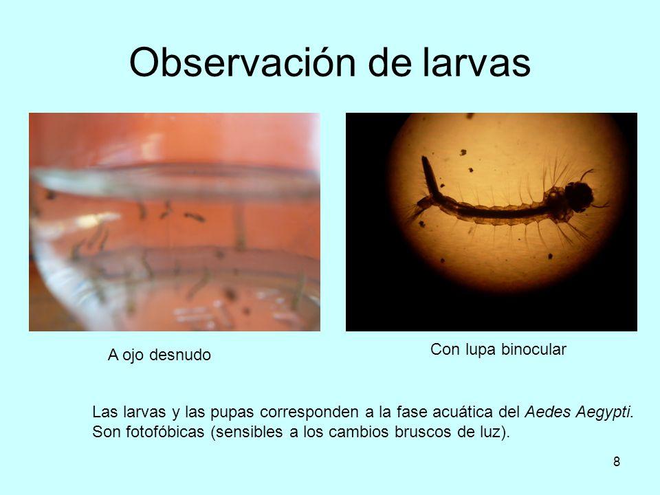7 Huevos El mosquito hembra deposita sus huevos en cualquier recipiente que contenga agua relativamente limpia y quieta. Los mismos se adhieren a la p