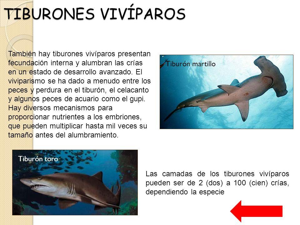 Contemporáneo Anatomía Del Sistema Reproductor De Tiburón Colección ...