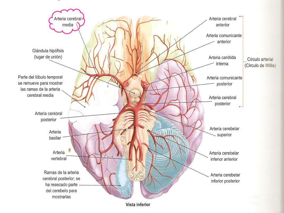 Dorable Anatomía De La Arteria Cerebral Media Ornamento - Imágenes ...