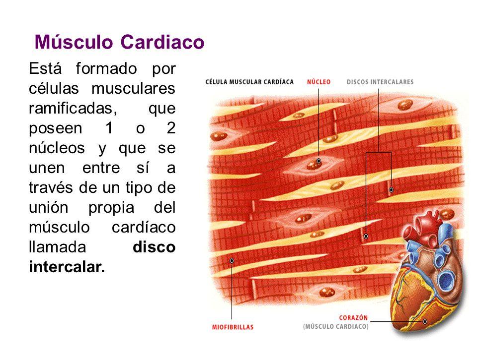 Músculo Cardiaco Está formado por células musculares ramificadas ...