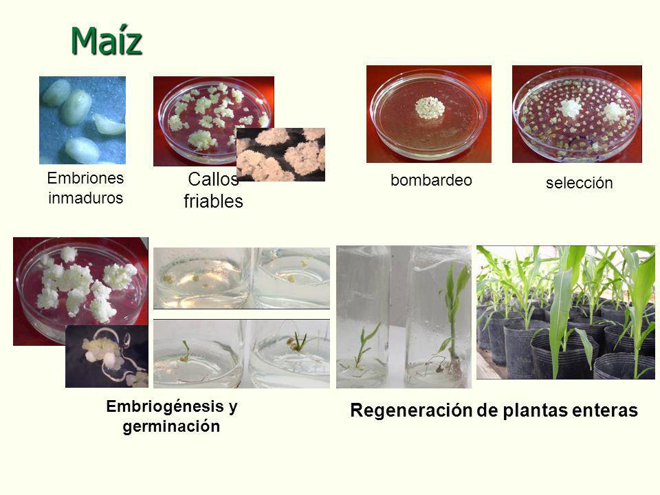 Embriones inmaduros bombardeo selección Embriogénesis y germinación Regeneración de plantas enteras Maíz Callos friables