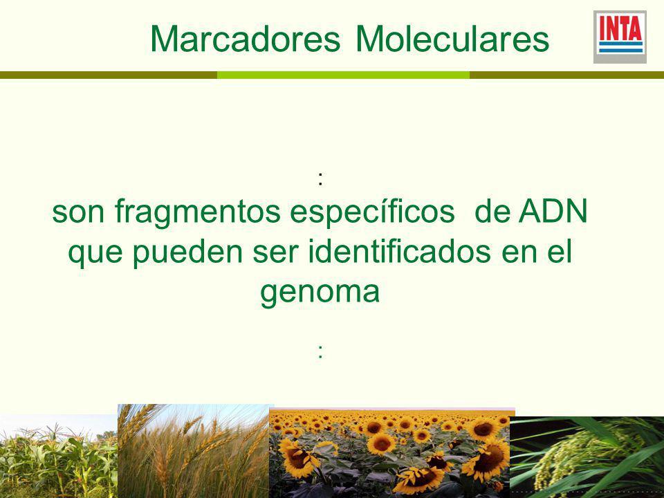 Marcadores Moleculares : son fragmentos específicos de ADN que pueden ser identificados en el genoma :