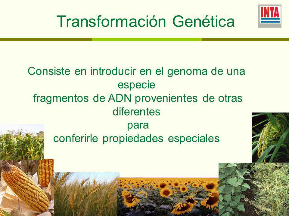 Transformación Genética Consiste en introducir en el genoma de una especie fragmentos de ADN provenientes de otras diferentes para conferirle propiedades especiales