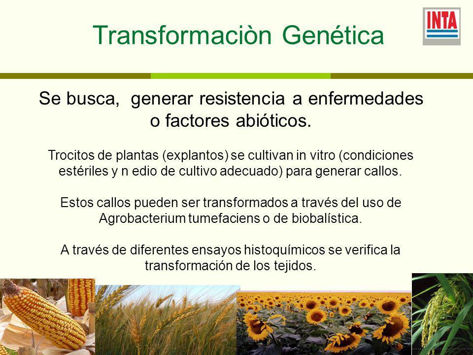 Transformaciòn Genética Se busca, generar resistencia a enfermedades o factores abióticos.