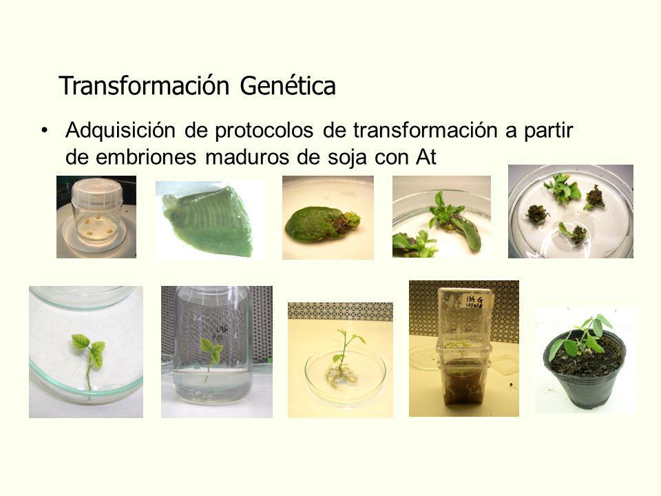 Transformación Genética Adquisición de protocolos de transformación a partir de embriones maduros de soja con At