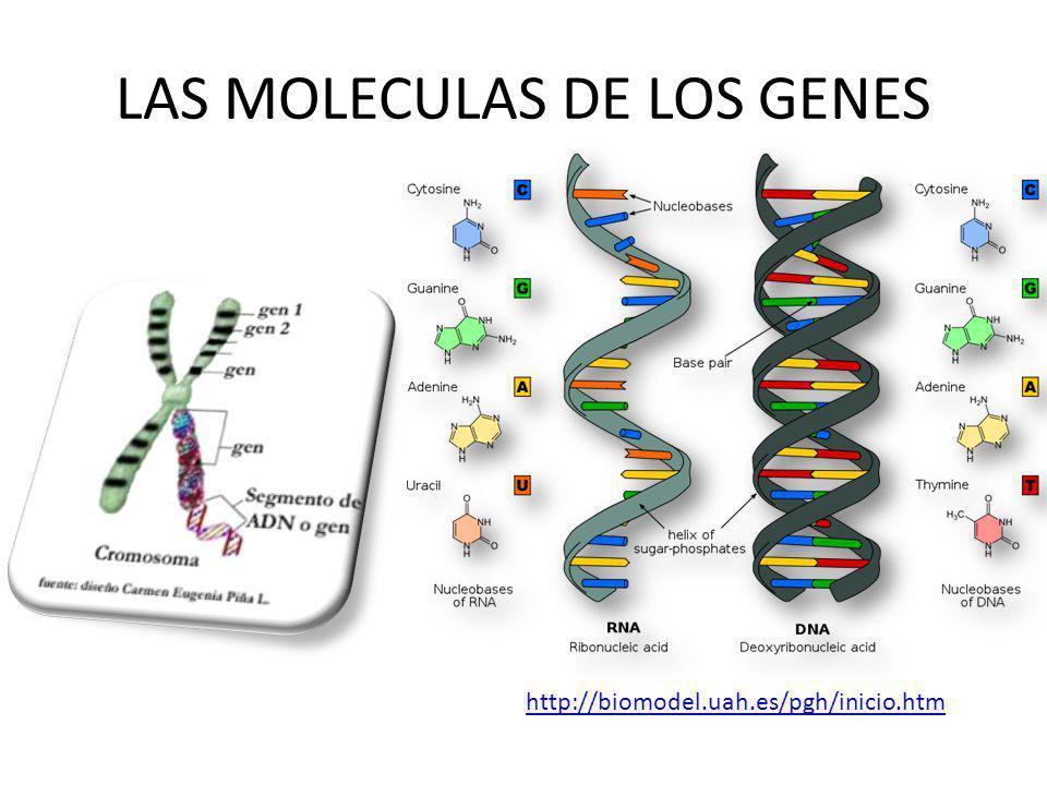 LAS MOLECULAS DE LOS GENES http://biomodel.uah.es/pgh/inicio.htm
