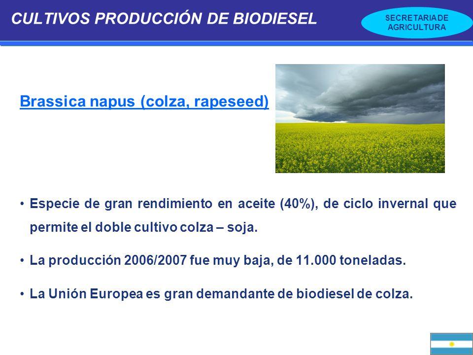 SECRETARIA DE AGRICULTURA CULTIVOS PRODUCCIÓN DE BIODIESEL Brassica napus (colza, rapeseed) Especie de gran rendimiento en aceite (40%), de ciclo inve