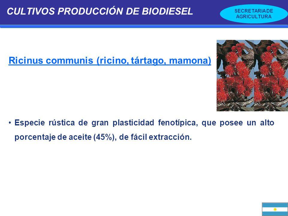 SECRETARIA DE AGRICULTURA CULTIVOS PRODUCCIÓN DE BIODIESEL Ricinus communis (ricino, tártago, mamona) Especie rústica de gran plasticidad fenotípica,