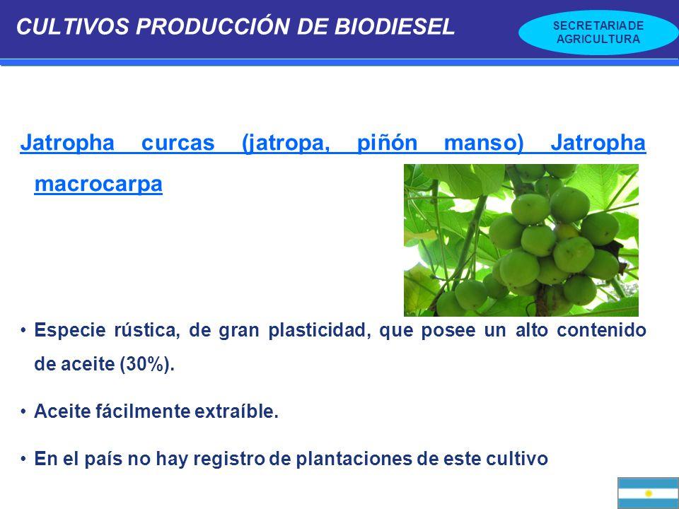 SECRETARIA DE AGRICULTURA CULTIVOS PRODUCCIÓN DE BIODIESEL Jatropha curcas (jatropa, piñón manso) Jatropha macrocarpa Especie rústica, de gran plastic