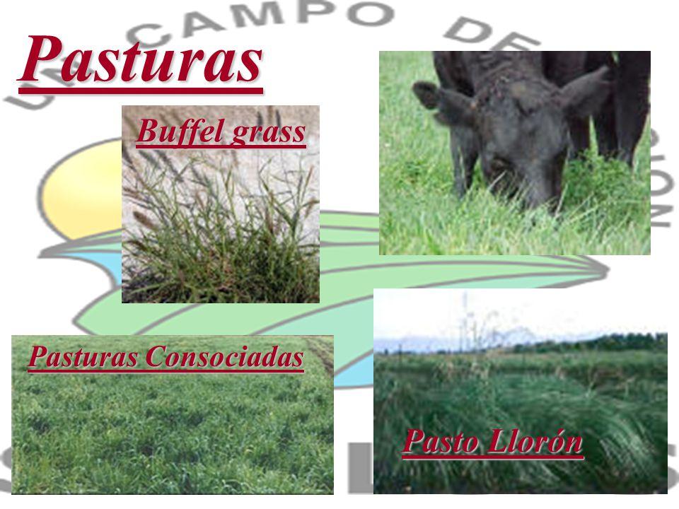Pasturas Buffel grass Pasturas Consociadas Pasto Llorón