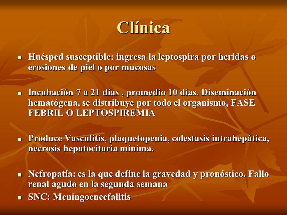 Clínica Huésped susceptible: ingresa la leptospira por heridas o erosiones de piel o por mucosas Huésped susceptible: ingresa la leptospira por heridas o erosiones de piel o por mucosas Incubación 7 a 21 días, promedio 10 días.