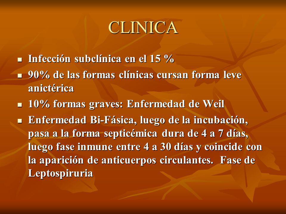 CLINICA Infección subclínica en el 15 % Infección subclínica en el 15 % 90% de las formas clínicas cursan forma leve anictérica 90% de las formas clínicas cursan forma leve anictérica 10% formas graves: Enfermedad de Weil 10% formas graves: Enfermedad de Weil Enfermedad Bi-Fásica, luego de la incubación, pasa a la forma septicémica dura de 4 a 7 días, luego fase inmune entre 4 a 30 días y coincide con la aparición de anticuerpos circulantes.