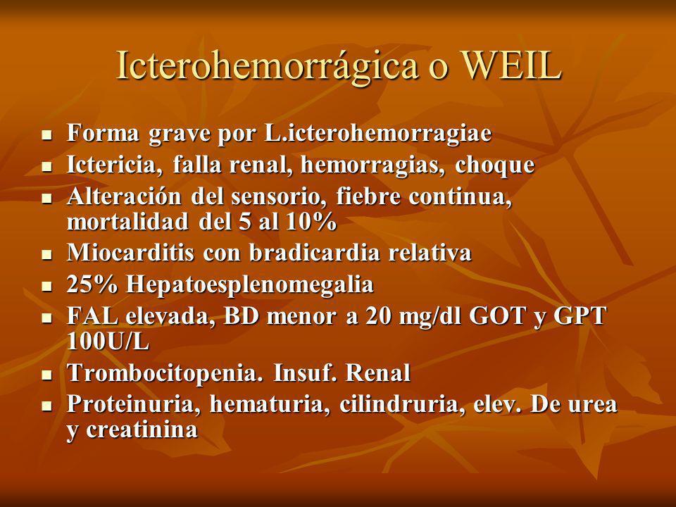 Icterohemorrágica o WEIL Forma grave por L.icterohemorragiae Forma grave por L.icterohemorragiae Ictericia, falla renal, hemorragias, choque Ictericia
