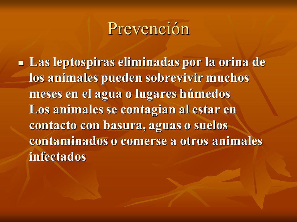 Prevención Las leptospiras eliminadas por la orina de los animales pueden sobrevivir muchos meses en el agua o lugares húmedos Los animales se contagi