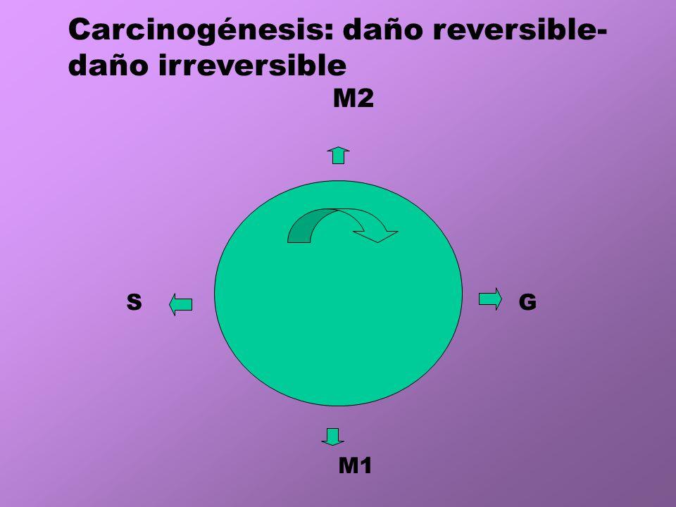 M2 G M1 S Carcinogénesis: daño reversible- daño irreversible