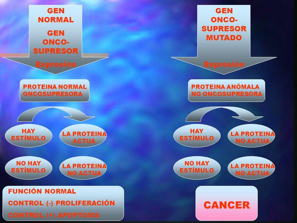 PROTEINA NORMAL ONCOSUPRESORA HAY ESTÍMULO FUNCIÓN NORMAL CONTROL (-) PROLIFERACIÓN CONTROL (+) APOPTOSIS GEN NORMAL GEN ONCO- SUPRESOR Expresión NO H