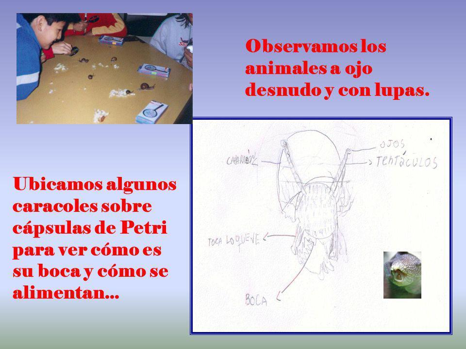 4 Observamos los animales a ojo desnudo y con lupas. Ubicamos algunos caracoles sobre cápsulas de Petri para ver cómo es su boca y cómo se alimentan..