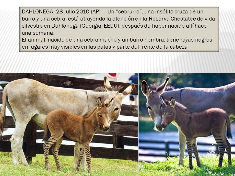 DAHLONEGA, 28 julio 2010 (AP) Un cebrurro, una insólita cruza de un burro y una cebra, está atrayendo la atención en la Reserva Chestatee de vida silvestre en Dahlonega (Georgia, EEUU), después de haber nacido allí hace una semana.