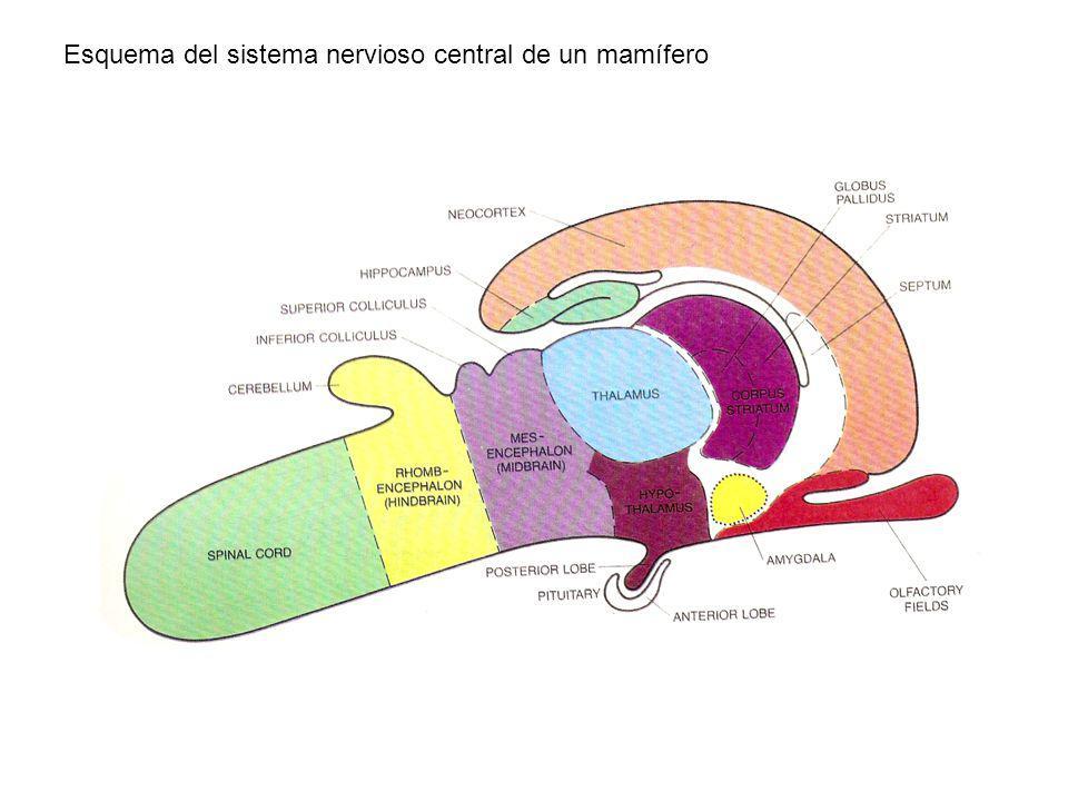 Esquema del sistema nervioso central de un mamífero