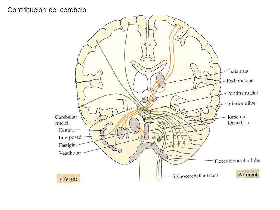 Contribución del cerebelo