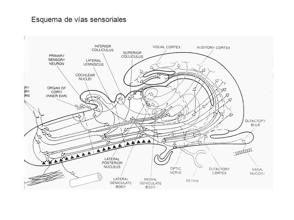 Esquema de vías sensoriales