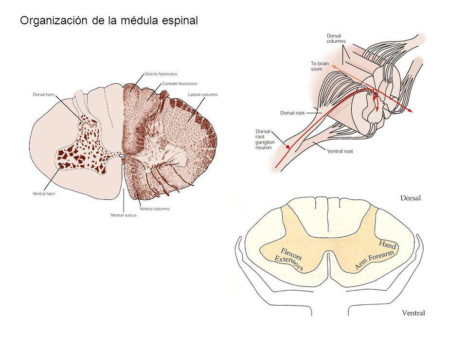 Organización de la médula espinal