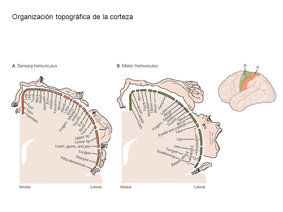 Organización topográfica de la corteza