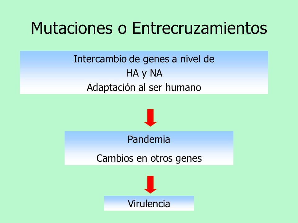Mutaciones o Entrecruzamientos Intercambio de genes a nivel de HA y NA Adaptación al ser humano Pandemia Cambios en otros genes Virulencia