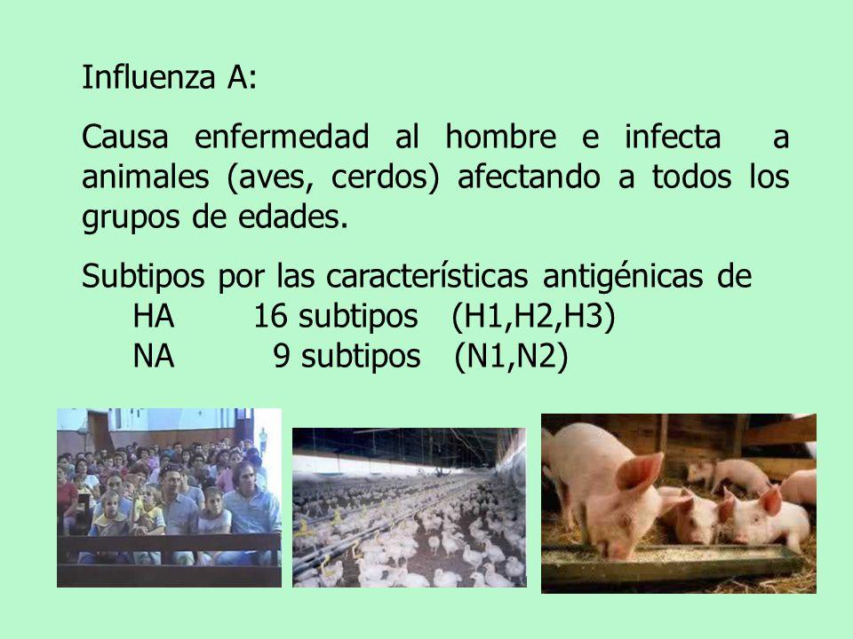 Influenza A: Causa enfermedad al hombre e infecta a animales (aves, cerdos) afectando a todos los grupos de edades. Subtipos por las características a