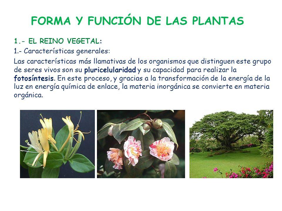 FORMA Y FUNCIÓN DE LAS PLANTAS 1.- EL REINO VEGETAL: 1.- Características generales: Las características más llamativas de los organismos que distinguen este grupo de seres vivos son su pluricelularidad y su capacidad para realizar la fotosíntesis.