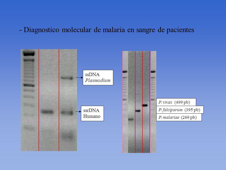 Estudios realizados –Diagnostico por microscopia de Plasmodium –Diagnostico molecular por Multiple Semi Nested PCR de malaria en sangre de pacientes (1760 muestras) –Genotipificación de Plasmodium por PCR MSP1 y MSP3 y por PCR-RFLP (540 muestras) –Análisis de sueros por ELISA (600 muestras) –Detección de Plasmodium en el mosquito vector Anopheles darlingii por PCR
