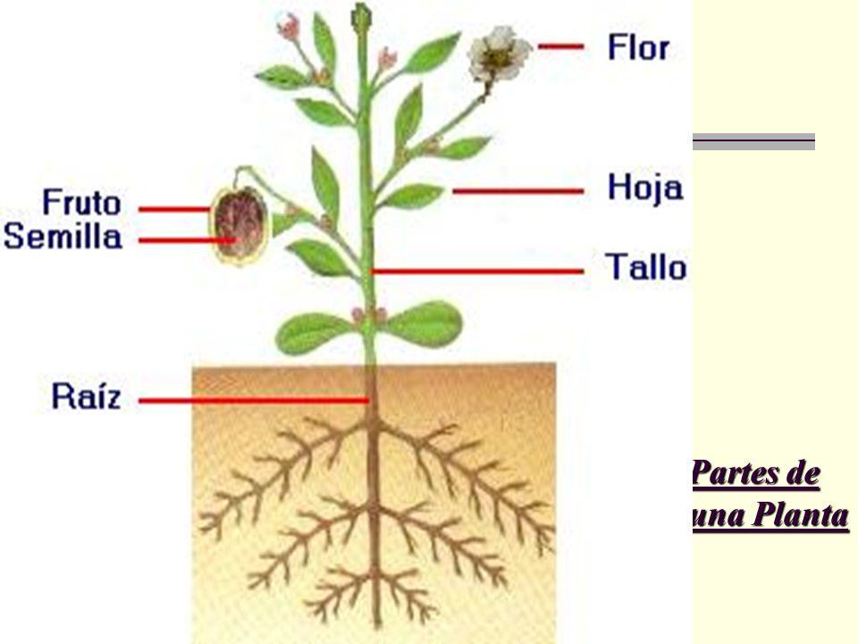 Partes de una Planta Partes de un VegetalPartes de un Vegetal