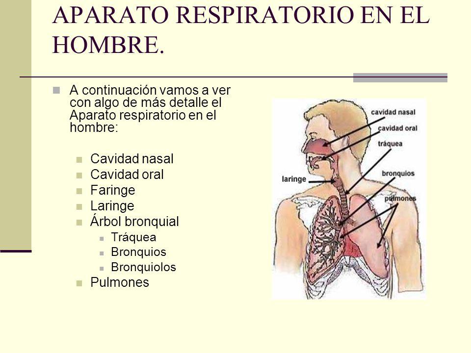 APARATO RESPIRATORIO EN EL HOMBRE. A continuación vamos a ver con algo de más detalle el Aparato respiratorio en el hombre: Cavidad nasal Cavidad oral
