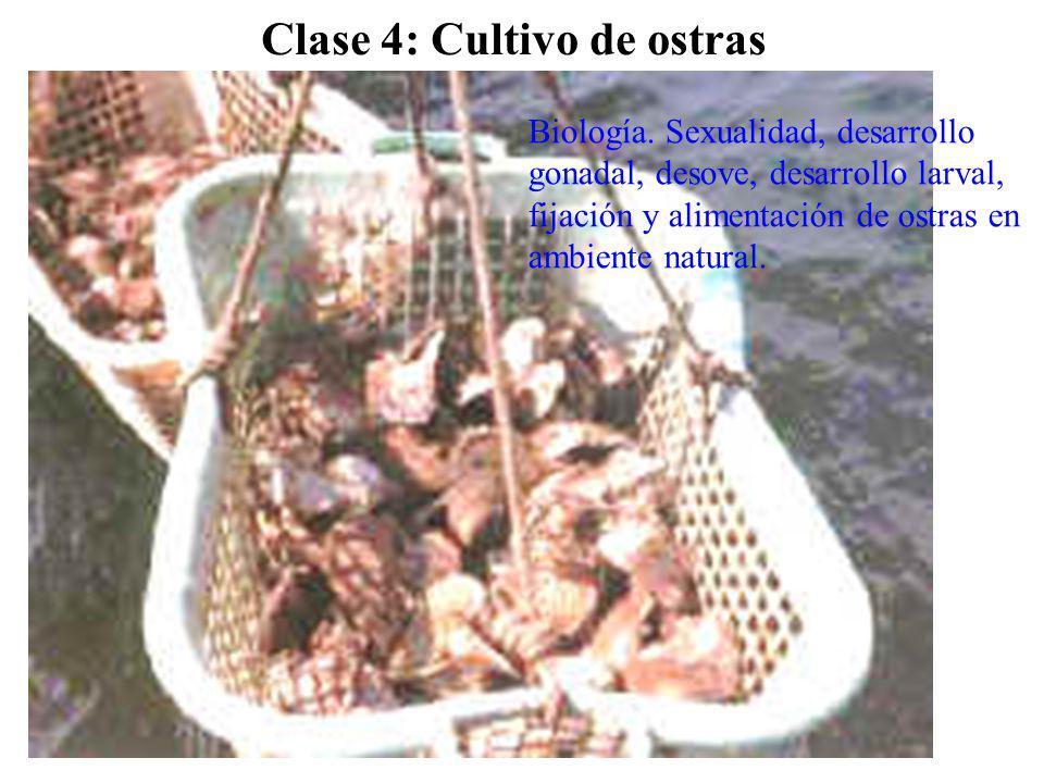 Clase 4: Cultivo de ostras Biología. Sexualidad, desarrollo gonadal, desove, desarrollo larval, fijación y alimentación de ostras en ambiente natural.