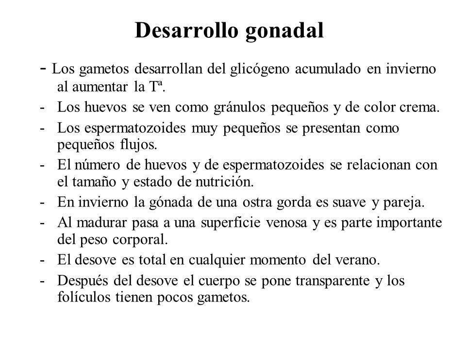 Desarrollo gonadal - Los gametos desarrollan del glicógeno acumulado en invierno al aumentar la Tª. -Los huevos se ven como gránulos pequeños y de col