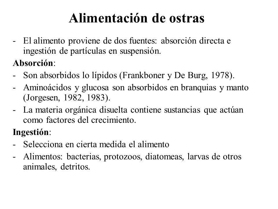 Alimentación de ostras -El alimento proviene de dos fuentes: absorción directa e ingestión de partículas en suspensión. Absorción: -Son absorbidos lo
