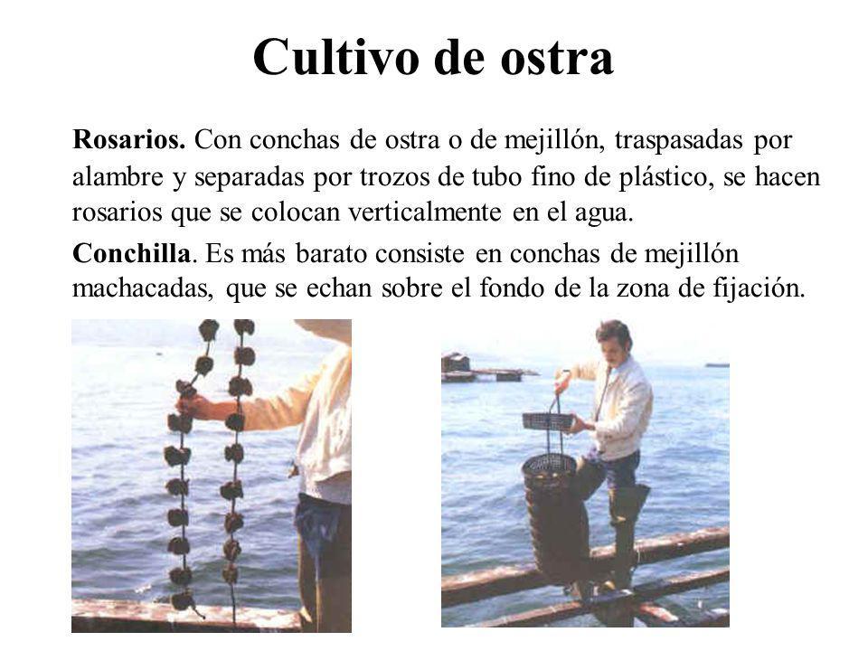 Cultivo de ostra Rosarios. Con conchas de ostra o de mejillón, traspasadas por alambre y separadas por trozos de tubo fino de plástico, se hacen rosar