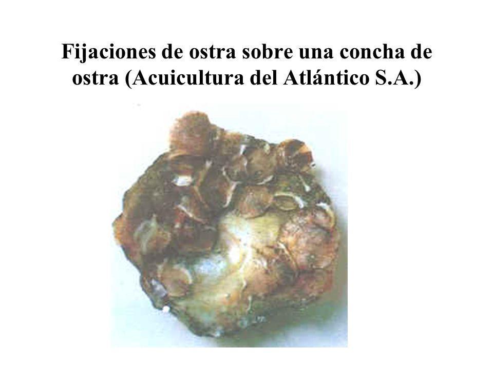 Fijaciones de ostra sobre una concha de ostra (Acuicultura del Atlántico S.A.)