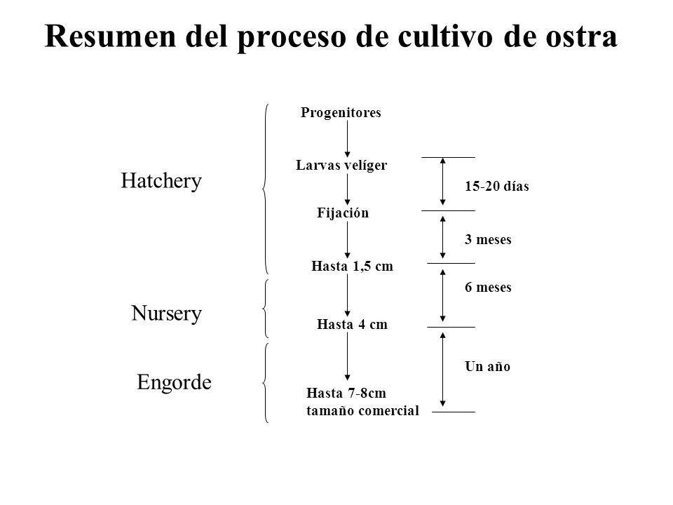 Resumen del proceso de cultivo de ostra Progenitores Larvas velíger Fijación Hasta 1,5 cm Hasta 4 cm Hasta 7-8cm tamaño comercial Hatchery Nursery Eng