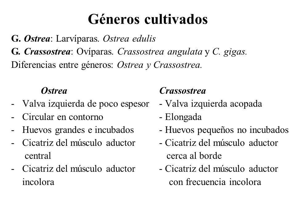 Géneros cultivados G. Ostrea: Larvíparas. Ostrea edulis G. Crassostrea: Ovíparas. Crassostrea angulata y C. gigas. Diferencias entre géneros: Ostrea y