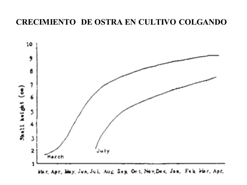 CRECIMIENTO DE OSTRA EN CULTIVO COLGANDO
