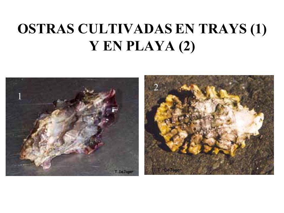 OSTRAS CULTIVADAS EN TRAYS (1) Y EN PLAYA (2) 1 2