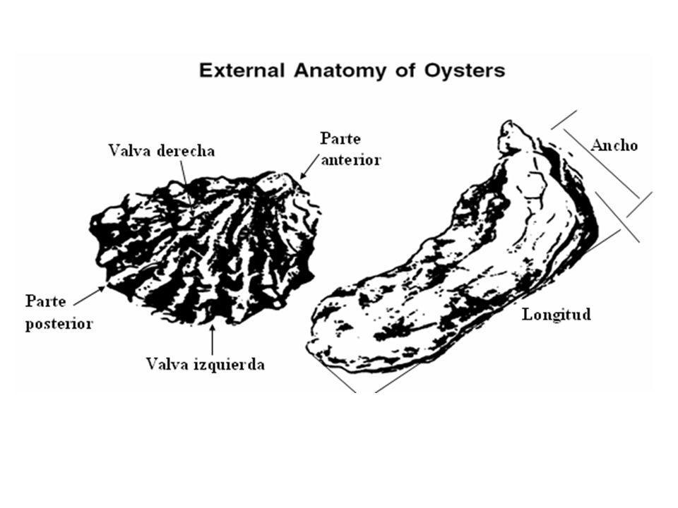 Biología - La ostra es un ostreido.