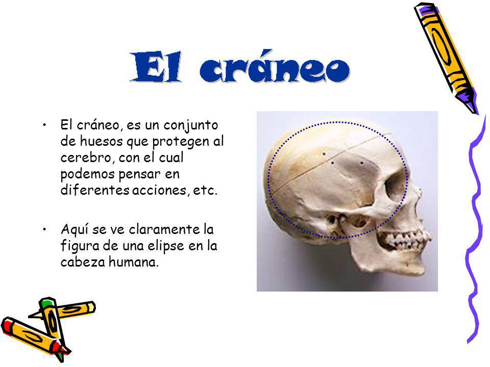 El cráneo, es un conjunto de huesos que protegen al cerebro, con el cual podemos pensar en diferentes acciones, etc. Aquí se ve claramente la figura d