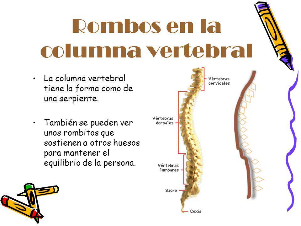 La columna vertebral tiene la forma como de una serpiente. También se pueden ver unos rombitos que sostienen a otros huesos para mantener el equilibri