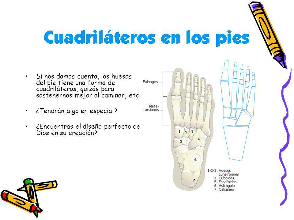 Si nos damos cuenta, los huesos del pie tiene una forma de cuadriláteros, quizás para sostenernos mejor al caminar, etc. ¿Tendrán algo en especial? ¿E