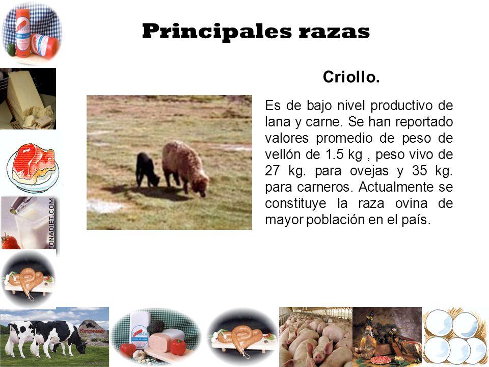 Principales razas Criollo. Es de bajo nivel productivo de lana y carne. Se han reportado valores promedio de peso de vellón de 1.5 kg, peso vivo de 27