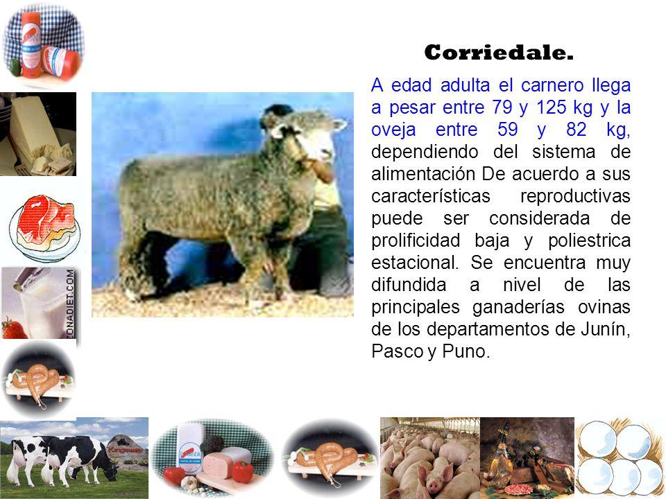 Corriedale. A edad adulta el carnero llega a pesar entre 79 y 125 kg y la oveja entre 59 y 82 kg, dependiendo del sistema de alimentación De acuerdo a