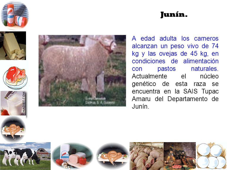 Junín. A edad adulta los carneros alcanzan un peso vivo de 74 kg y las ovejas de 45 kg, en condiciones de alimentación con pastos naturales. Actualmen