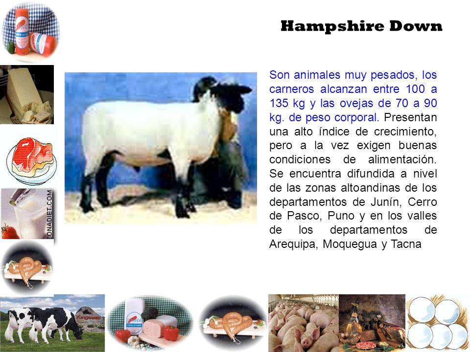 Hampshire Down Son animales muy pesados, los carneros alcanzan entre 100 a 135 kg y las ovejas de 70 a 90 kg. de peso corporal. Presentan una alto índ